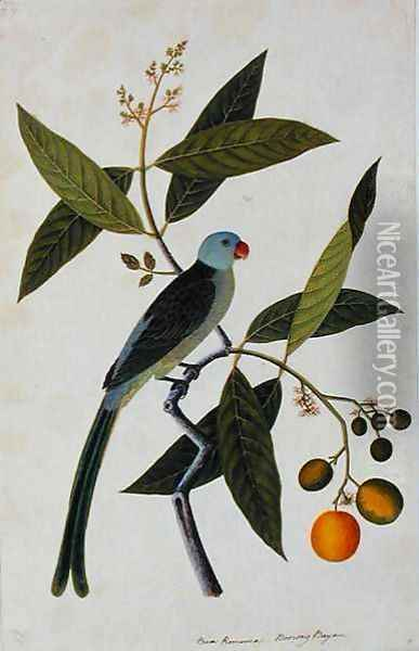 Bua Romania, Boorong Bayam, from 'Drawings of Birds from Malacca', c.1805-18 Oil Painting - Anonymous Artist