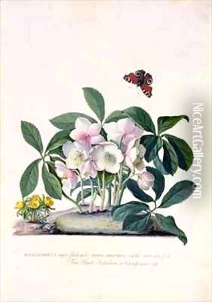 Christmas Rose Helleborus niger and Winter Aconite Eranthis hyemalis Oil Painting - Georg Dionysius Ehret