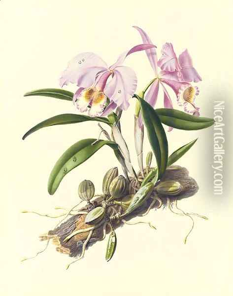 Orchidaceae Cattleya mossiae Oil Painting - Augusta Innes Withers